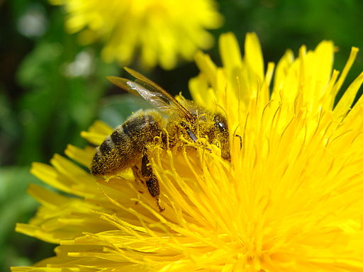 Pollination Bee Dandelion