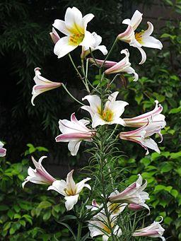 Weiße Königs-Lilie (Lilium regale)