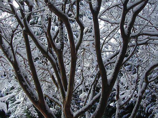 WinterInterestCrepeMyrtle02