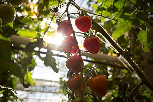 Lufa Farms Strawberry Tomatoes