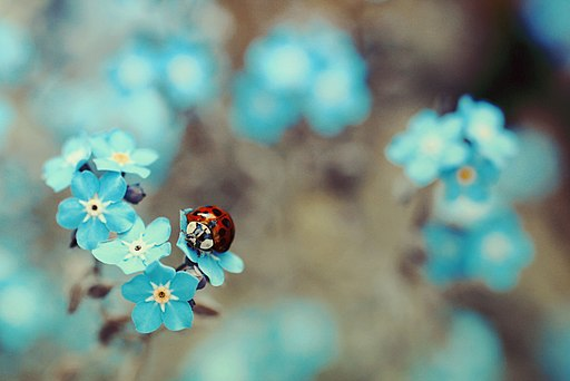 Coccinella on Myosotis