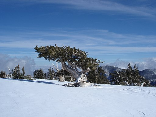 Pinus longaeva in snow Great Basin NP 2