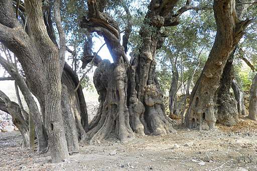 5000 years old olive tree - panoramio (1)