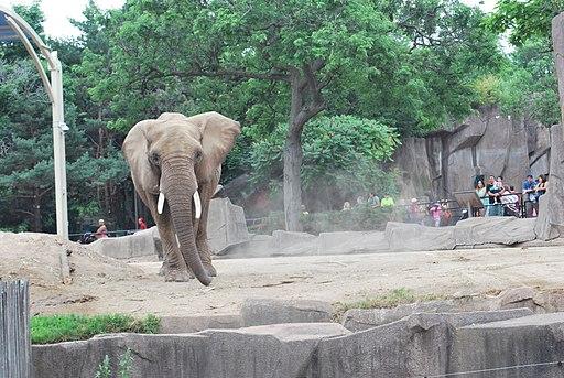 African elephant 0550 02