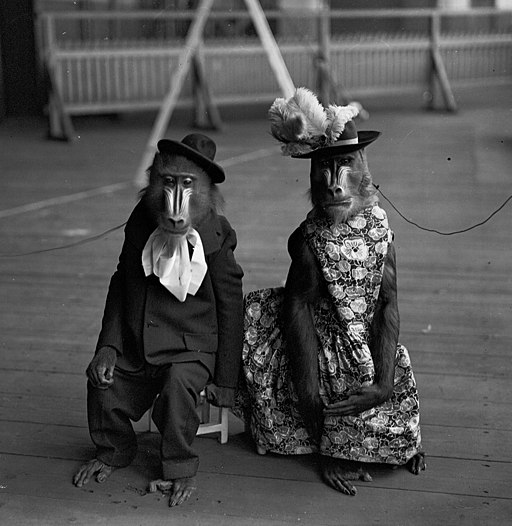Jacko и Bess, мандрилы на представлении в Olympia Circus в Лондоне. 31st December 1931