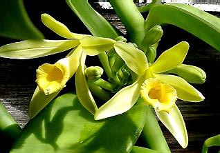 Vanilla planifolia112686509