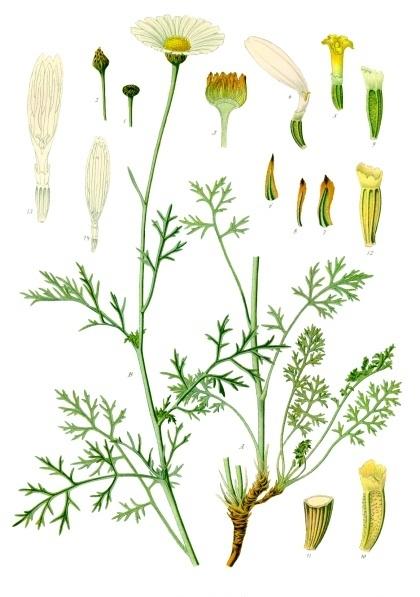 Tanacetum cinerariifolium - Köhler–s Medizinal-Pflanzen-269