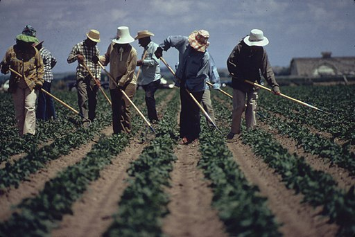 WEEDING SUGAR BEETS NEAR FORT COLLINS. (FROM THE SITES EXHIBITION. FOR OTHER IMAGES IN THIS ASSIGNMENT, SEE FICHE... - NARA - 553879 (cropped)