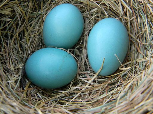 American Robin Eggs in Nest