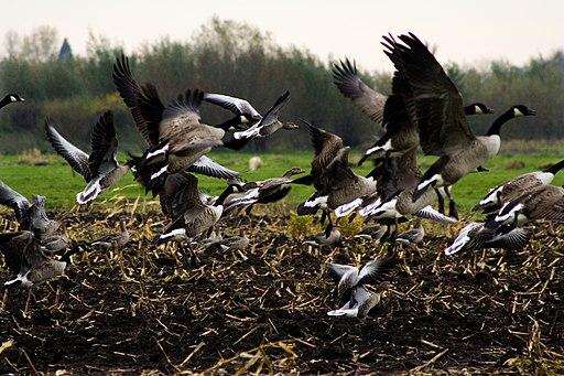 Mixed Greylag & Canada Goose flock, Netherlands