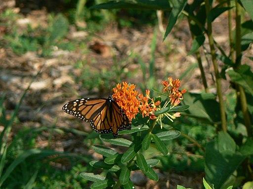 Monarch on Butterflyweed (4678376261)