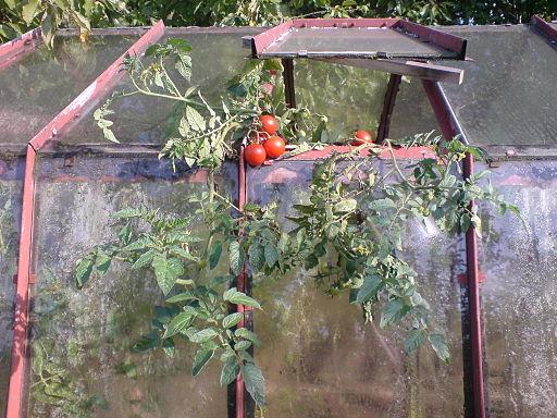Rajčata&skleník