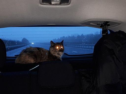 Cat on rear window car