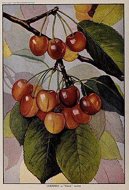"""Cherries - a """"Heart"""" variety, illustration from The Encyclopedia of Food by Artemas Ward"""
